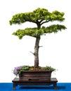 Conifer cyprus cedar as bonsai tree Royalty Free Stock Photography