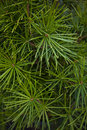 Conifer detail of a in a garden Stock Photo