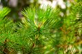 Conifer evergreen tree Stock Photos