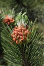Conifer flowers tree blossoms Stock Photos
