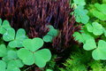 Close-up of conifer forest floor plants, clover and fungus Royalty Free Stock Photo