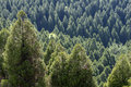 Conifer forest sense of depth with sunlight from above Royalty Free Stock Images