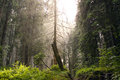 Conifer forest in summer in transylvania untouched wilderness Royalty Free Stock Photography