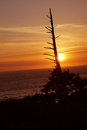 Conifer snag at sunset on the oregon coast Stock Photography