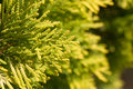 Conifer tree Royalty Free Stock Images