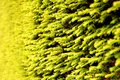 Conifer tree Stock Photo