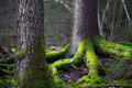 Conifer tree in wilderness area close up of trunk of scandinavia root covered green fungus background Stock Photos