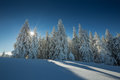 Conifer trees in winter in Black Forest, Germany Royalty Free Stock Photo