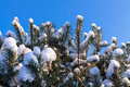 Conifer in winter with snow and blue sky Stock Photo