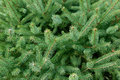 Coniferous branches green fir tree for background Royalty Free Stock Photo