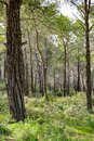 Coniferous forest in Cyprus. Beautiful Natural vertical Background. Landscape Royalty Free Stock Photo