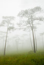 Coniferous forest in fog morning mist cover pine tree form chiangmai thailand Stock Photography