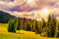 Coniferous forest on a mountain slope steep Royalty Free Stock Photography