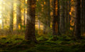 Coniferous forest in a summer morning old with green moss Stock Image