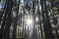 Coniferous forest with the sun shining through the trees pine Stock Image