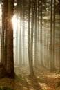 Coniferous forest at sunrise in the autumn Stock Photography