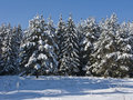 Coniferous forest under snow Royalty Free Stock Photo