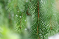 Coniferous tree branch with water drops macro shot Royalty Free Stock Photos