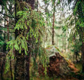 Coniferous tree image of summer forest conifer trees close up Stock Photo