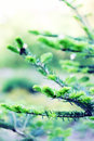 Coniferous tree young branches of spruce blossomed spring Stock Image