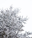 Coniferous trees covered with hoarfrost Royalty Free Stock Photo