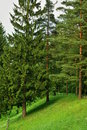 Coniferous trees in park high fir tree and pine grow on the green hill of forest the reserve Royalty Free Stock Image