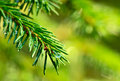 Coniferous twig with raindrops. Royalty Free Stock Photo