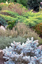 Conifers in the rock garden Royalty Free Stock Photo