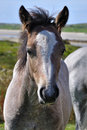 Connemara pony Royalty Free Stock Image