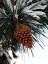 Cono grande del pino Fotografía de archivo