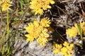 Conostylus  Cotton Head  Wild Flowers Stock Image