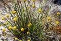 Conostylus  Cotton Head  Wild Flowers Royalty Free Stock Image
