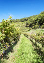 Conques vineyards Royalty Free Stock Photo