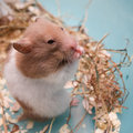 Consommation de hamster Photos stock