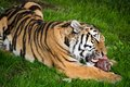 Consommation de tigre Photo stock