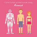 Constitution of Human Body. Mesomorph. Vector Royalty Free Stock Photo