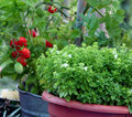 Container gardening basil and tomato Royalty Free Stock Photo