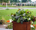 Container Planting Royalty Free Stock Photography