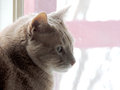 Contemplating cat in window a beige and curious looks out the with a pink cast Stock Photo