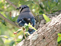 Contemplative blue jay bluejayup in a tree with back to camera the bird has its head turned to the side with expression Stock Photography