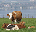Contented Cows Royalty Free Stock Photography