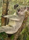Contented, Cute Koala Royalty Free Stock Photo