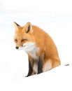 Red fox (Vulpes vulpes) with a bushy tail isolated on white background hunting in the freshly fallen snow in Algonquin Royalty Free Stock Photo