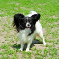 Continental toy spaniel on a green grass Stock Photo