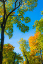 Contrast trees on the blue sky autumn in city garden with beautiful color tree Stock Images