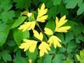 Contrasting Yellow Leaves on Green Royalty Free Stock Photo