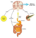 Control of food intake via hormones from the gut adipose tissue and pancreas and vagus nerve stimulation created in adobe Stock Images
