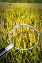 Control of growth and research of wheat diseases - concept image Royalty Free Stock Photo