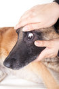 Controlling the eye and the conjunctiva of a dog Stock Photo