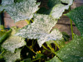 Controlling powdery mildew Royalty Free Stock Photo